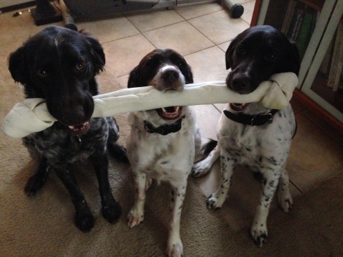 The dogs sharing their Christmas present. Alder, Litha and Breck (left to right).