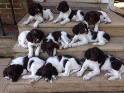 Puppy availabilty